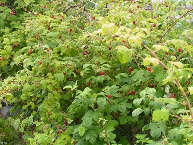 oodles of mature raspberry bushes