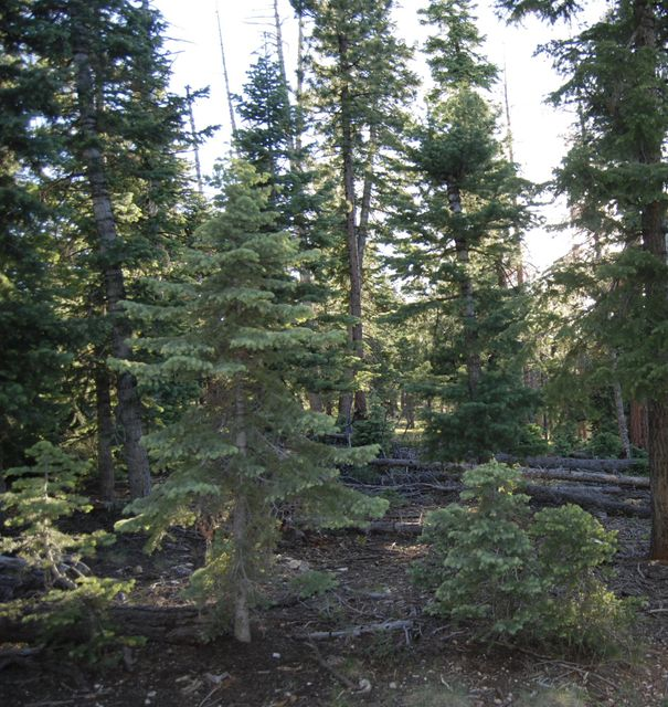Nice Lot backs up to National Forest. Flat & useable. Gorgeous Pine & Aspen Trees. Has water meter. Close to trails.  Enjoy the many streams & lakes nearby.  Utilities are in the road. Year-round access & water.  Owner / Agent. Seller may trade for other property (vacant or a structure).  Submit all offers. Buyer to verify all information.