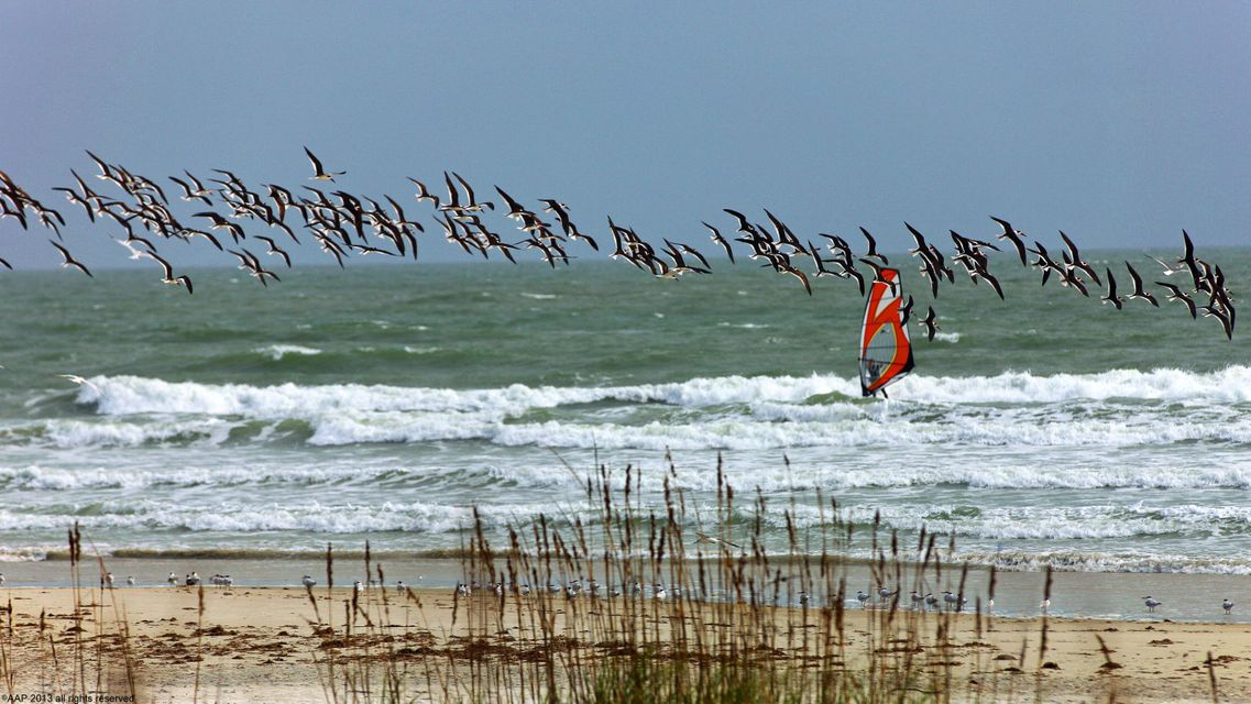 Wind Surfing with Birds 2013 AAP