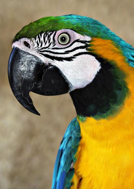 Puerto Rican Parrot