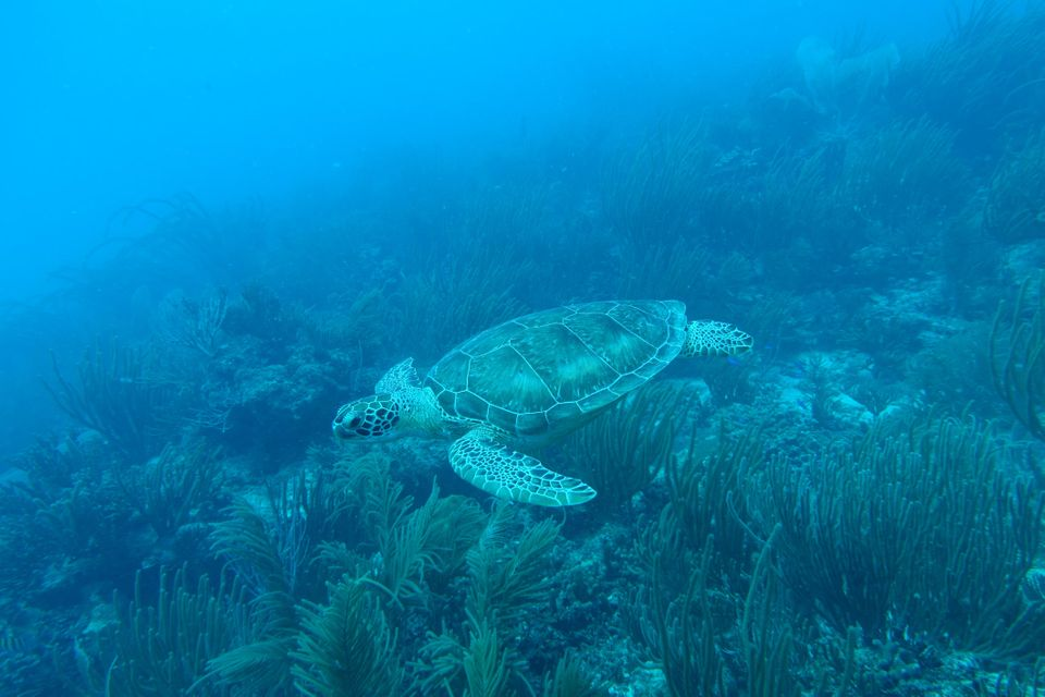 Puerto Rican Sea Turtle