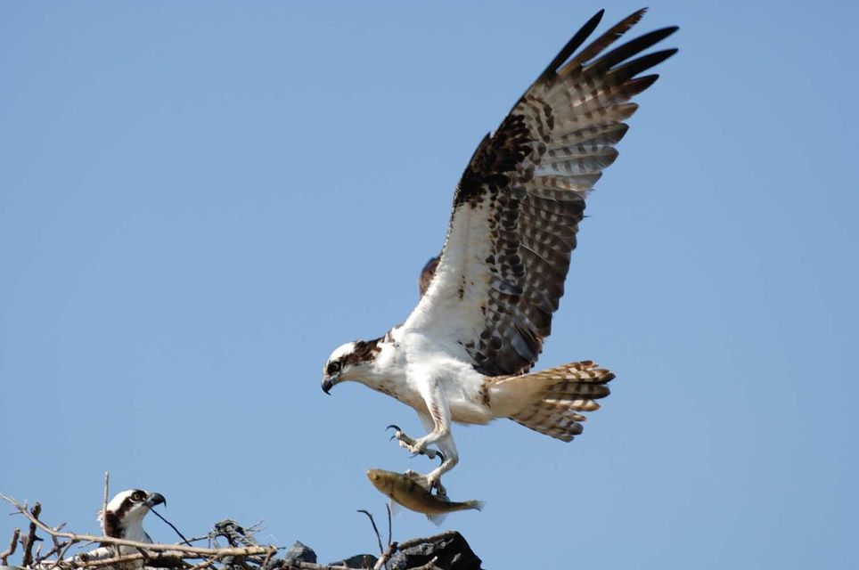 Local wildlife - Osprey