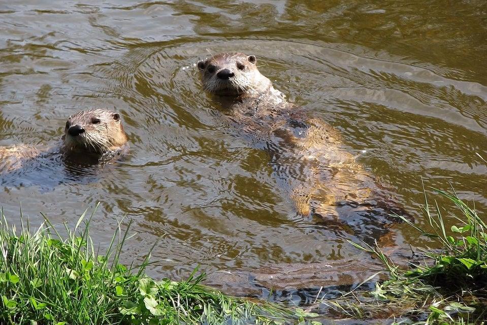 Local wildlife - River Otter