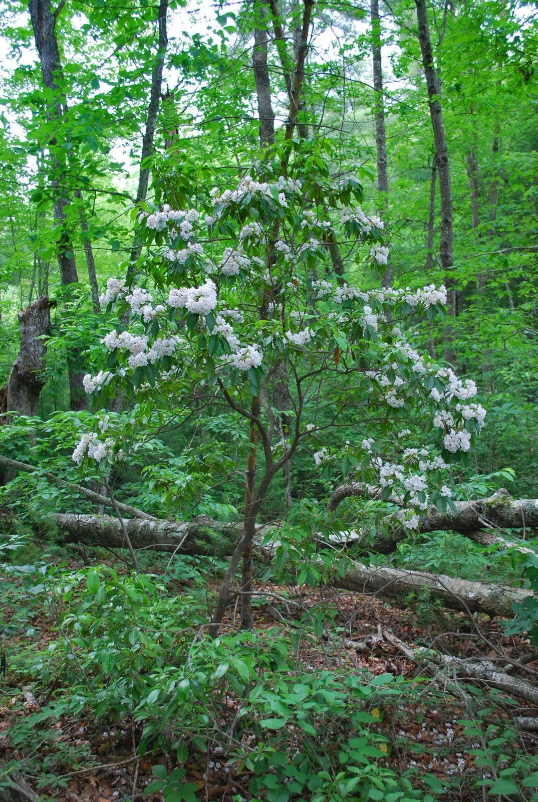 8_Mtn Laurel in bloom edt