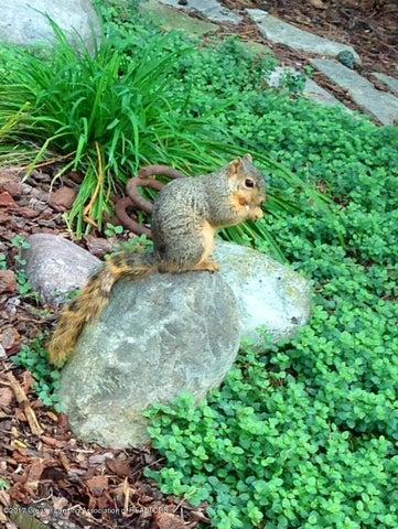 630 Lexington Ave - Squirrel in Back Yard - 22