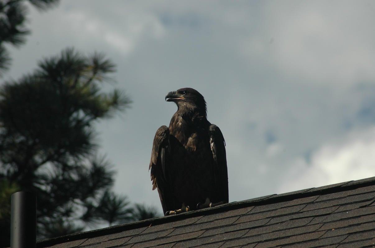 041_Eagle