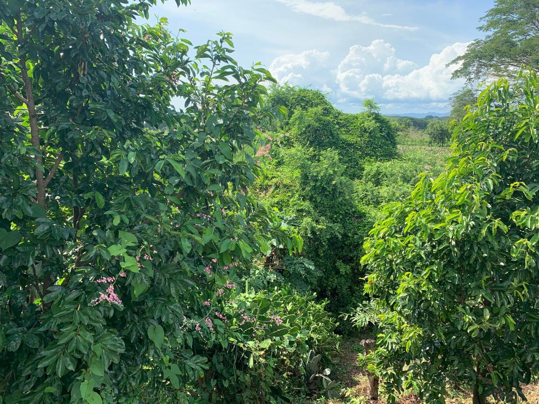 Guanoabana trees