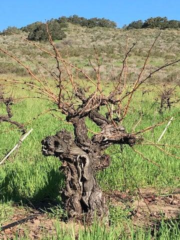 1887 Vines