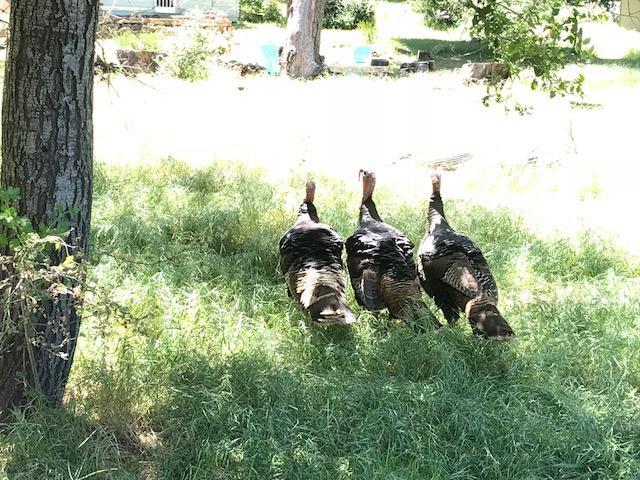 Turkeys abound