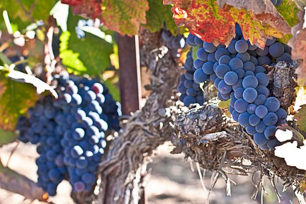 Red Grapes grown on property