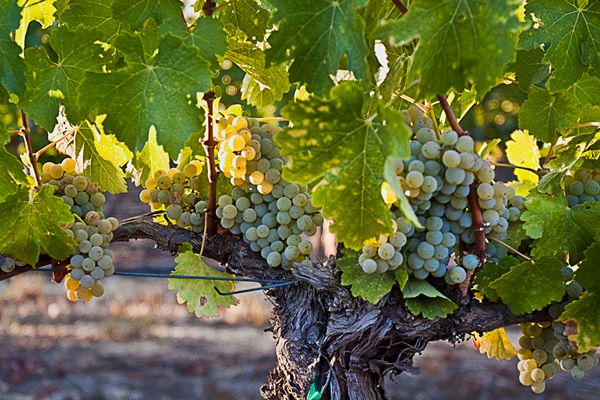 White Grapes grown on property