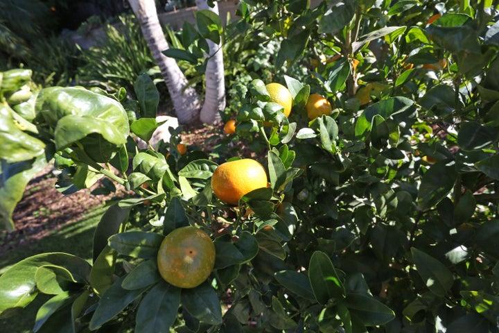 522 Dentr Dr - Fruit Tree