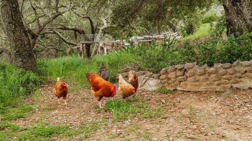 Chickens + Chicken Coop