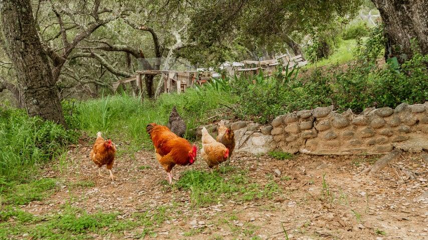 Main House-Chickens & Chicken Coop