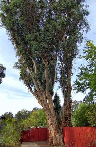 29. Eucalytpus trees