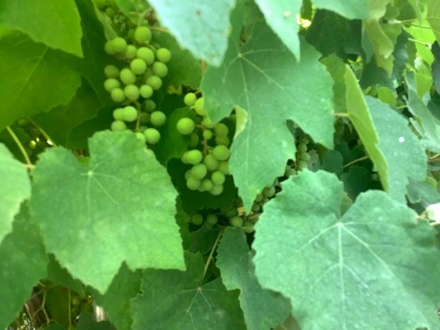 Grapes IMG_0093