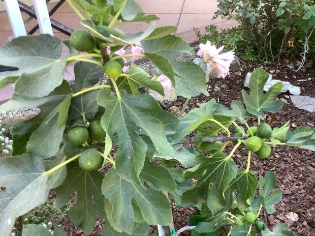 Fig tree IMG_0092