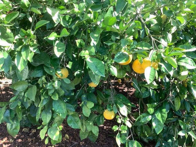 Lemons IMG_0085
