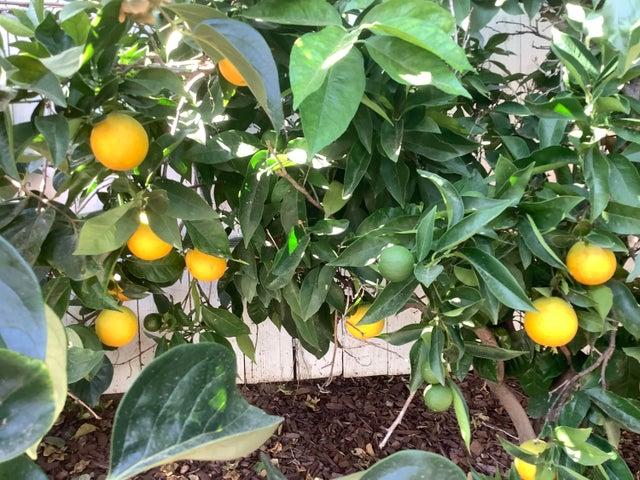 oranges IMG_0091