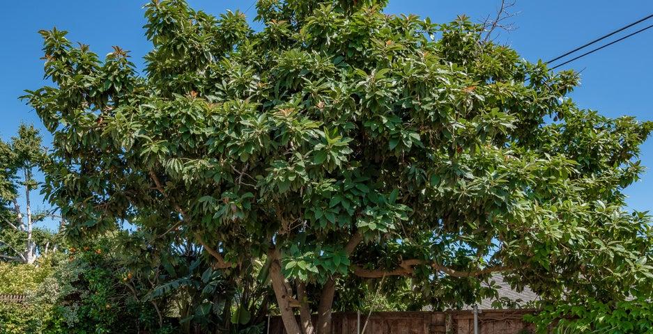 Avocado Treeps