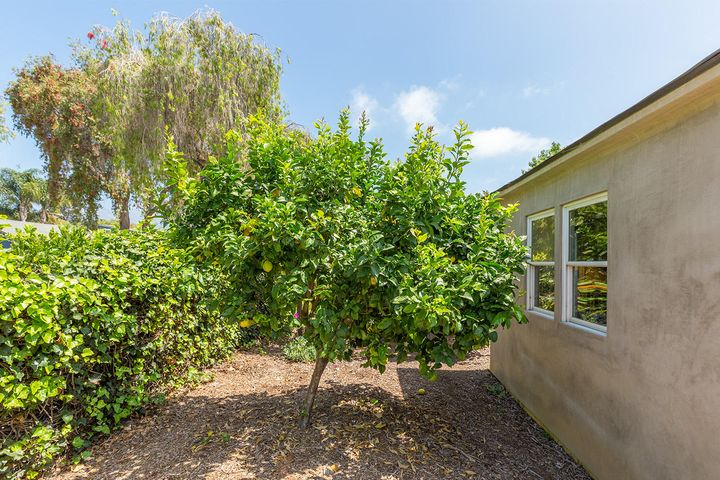 lemon tree in sideyard