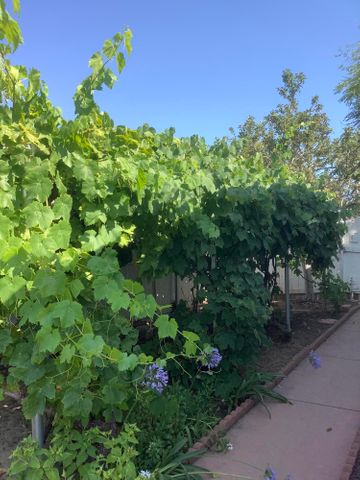 Grape vines with 2 types of grapes IMG_0