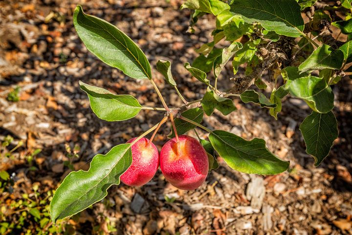 Apple and other fruit trees