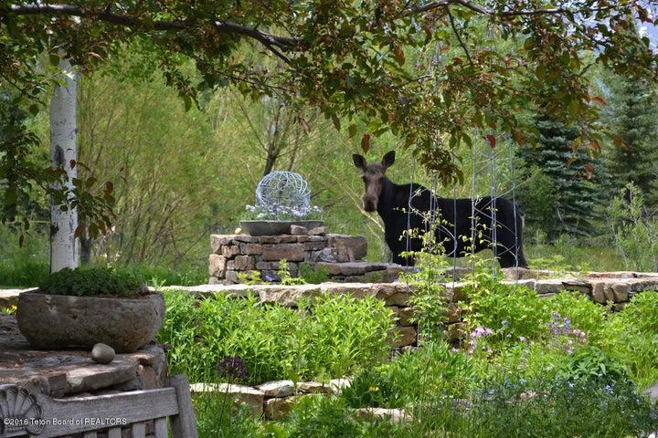 30 Summer Moose in garden