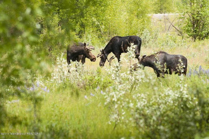 38 Three Moose in the Meadow