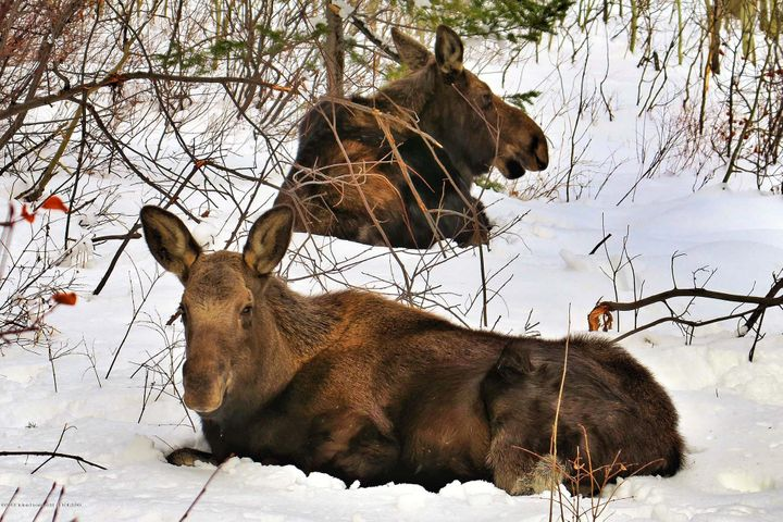 Moose at Stag's Leap