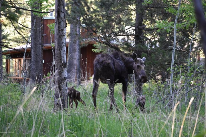 Moose and Babies on Property