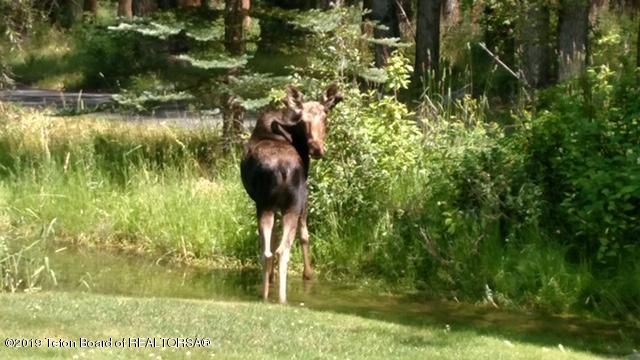 moose in front yard