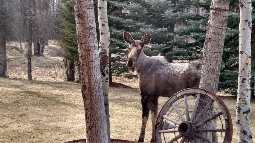 Moose at back deck