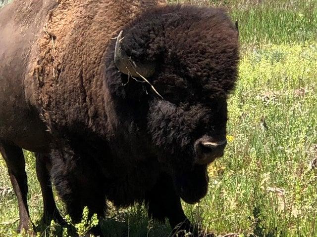 Bison close up