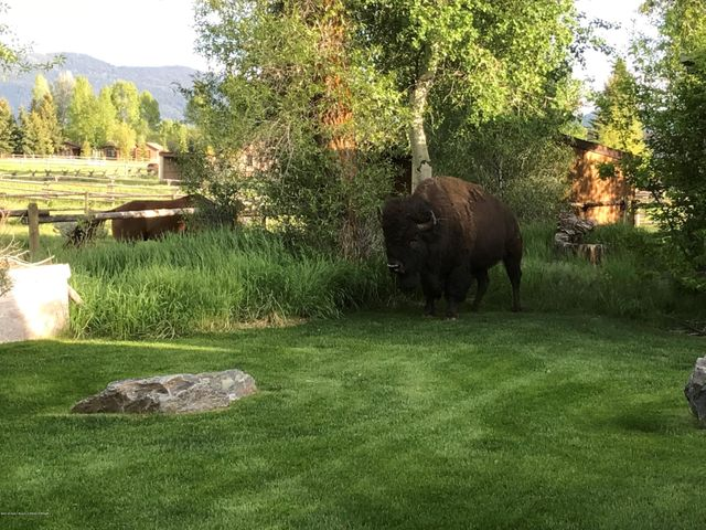 Bison standing in yard