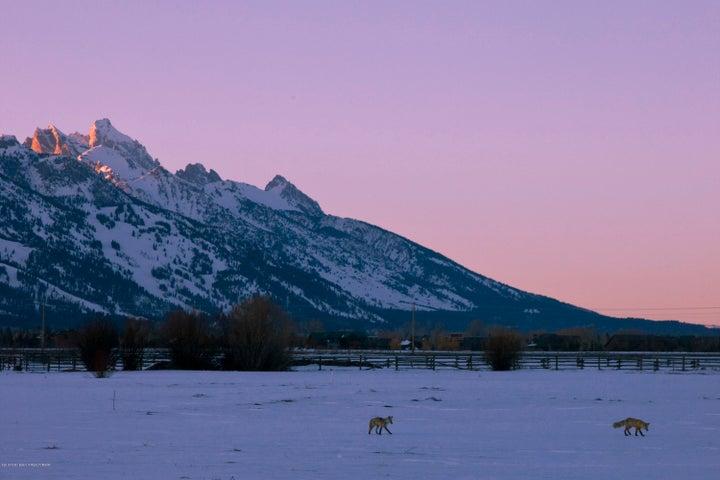Coyotes and Tetons at Dusk