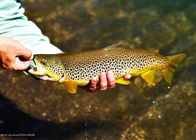 PACIFIC CREEK TROUT