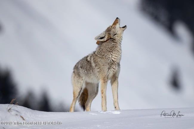 Coyote-5431