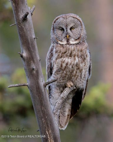 Great Gray Owl-7765