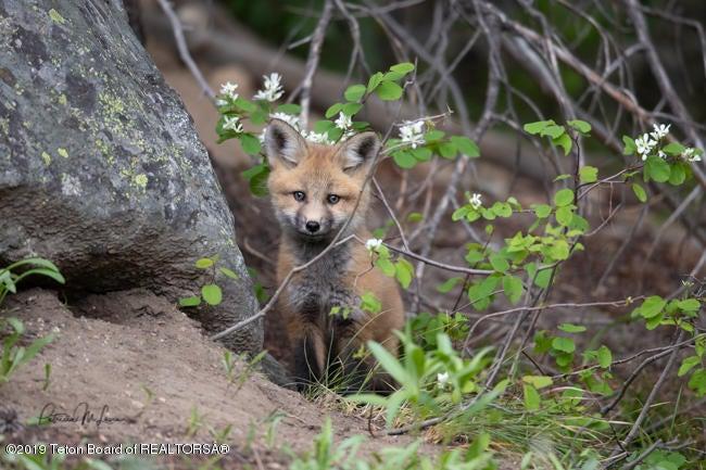 Red_Fox-4155