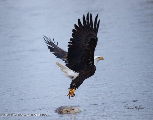 Bald_Eagle-3638