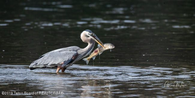 Great_Blue_Heron-0906