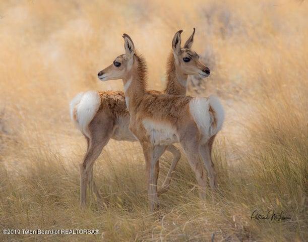 Pronghorn Antelope-3977