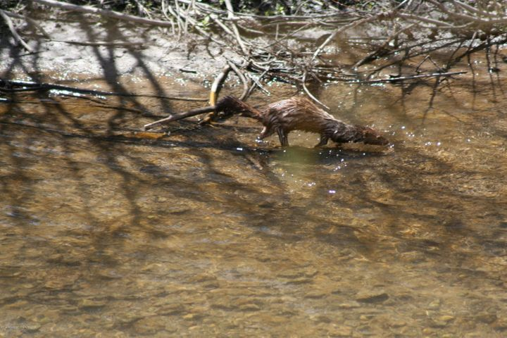 mink spring