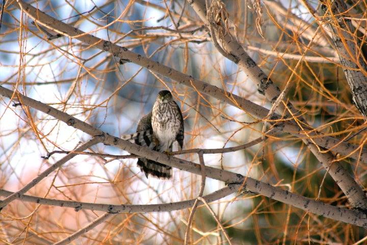 sharpshin hawk
