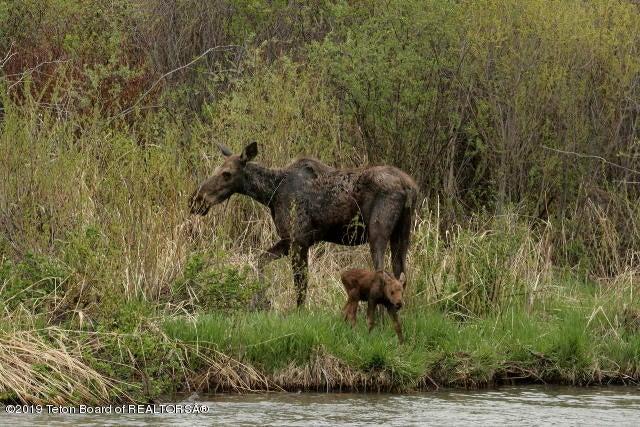 newborn moose