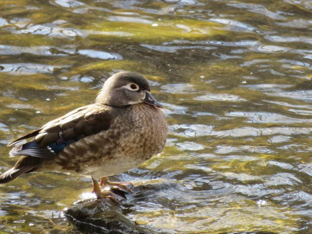 Woodduck in April