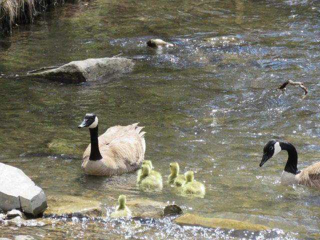 5/4/20 goslings