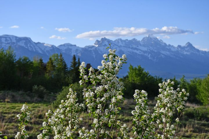 tree bloom teton range