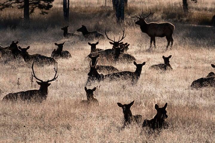 Resident Elk Herd